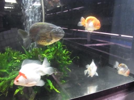 奇妙な金魚達
