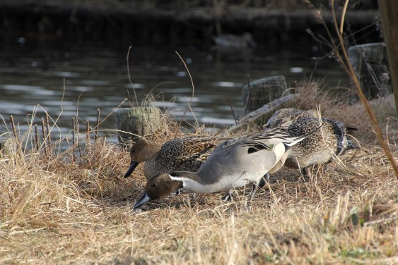 陸にあがった水鳥たち