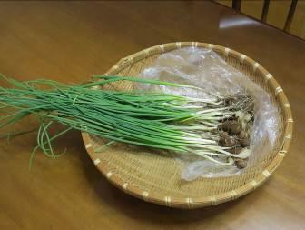 アサツキ収穫物9月
