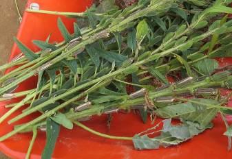 白ゴマ収穫枝