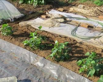 ツルナシインゲン菜園10月