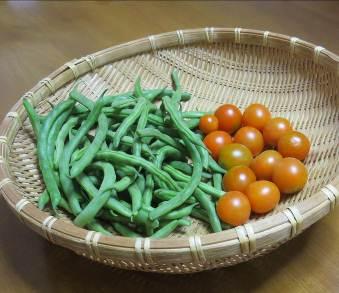 ツルナシインゲン収穫物10月
