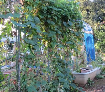 シカクマメ菜園10月