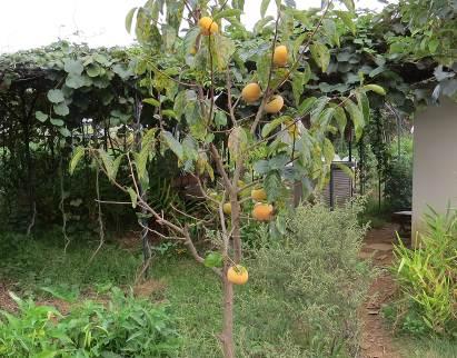 次郎柿菜園10月