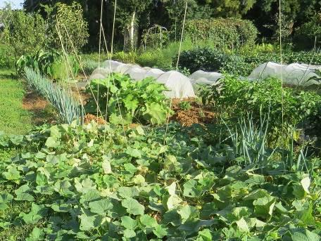 キューリ、ゴボウなど菜園10月
