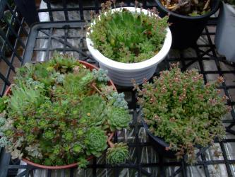 3月に作ったセンペル・セダム・クラッスラいろいろ寄せ植えがこんなに繁々になっています♪2013.06.25