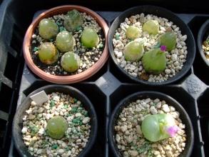 コノフィツム ブルゲリー(conophytum burgeri) &ピランシー(conophytum pillansii)午前中09:30は開きません(;一_一)2013.11.05