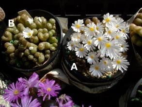 コノフィツム ペルシダム(conophytum pellucidum ssp. neohallii?)やっと晴れて時間差でAの方が満開になっています♪2013.10.27