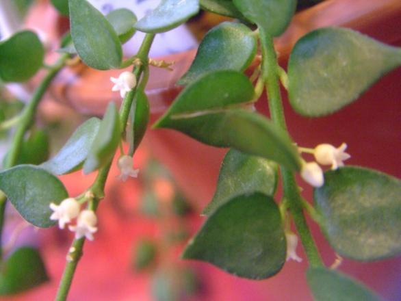 ディスキディア ルスキフォリア (Dischidia ruscifolia) =ミリオンハート~小さい白い花こっそり開花中♪2013.08.16