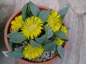 プレイオスピロス 如来(にょらい)(Pleiospilos dekenahi)?陽光(ようこう) (Pleiospilos compactus ssp. canus) ?どちらなのでしょう?キレイに開花中♪2013.11.23
