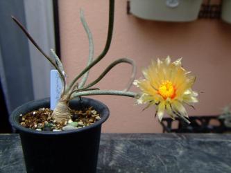 カプト・メデューサ (Digitostigma caput-medusae) = Astrophytum caput-medusae(アストロフィツム カプト・メデューサ )咲いています♪2013.06.01