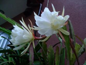 エピフィルム チチカステナンゴ(Epiphyllum crenatum var. chichicastenango)~孔雀サボテンの白花~芳香花♪開花中~2013.06.07