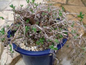 フィロボルス テヌイフロルス(Aizoaceae Phyllobolus tenuiflorus) しっかりお目覚め~♪2013.09.12