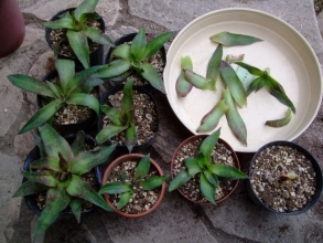 クラッスラ アルバ(Crassula alba var. parvisepala ) バラバラにして挿し木&葉挿しもしてみました♪2013.06.26