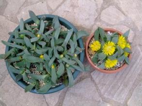 右:開花中~プレイオスピロス 如来(にょらい)(Pleiospilos dekenahi)左:蕾上がりちゅう~陽光(ようこう) (Pleiospilos compactus ssp. canus) ?同じ?葉の長さが違うような・・・どちらなのでしょう?20