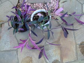 セトクレアセア 紫御殿(ムラサキゴテン)斑入り種 ~だらりんだらしないので行燈仕立てにします♪2013.08.21