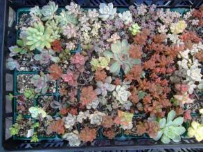 多肉いろいろ~3年越しの葉挿し&挿し木バッドが紅葉してきました♪玉葉&ホワイトストーンクロップ2013.09.29