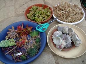 小さいサザエの貝殻に多肉を水苔で植えるのに凝っています♪暇なの~(^-^)2013.11.15
