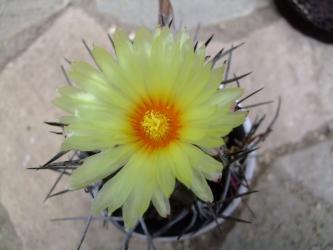 アストロフィツム属 大鳳玉(黒刺水牛系)(Astrophytum capricorne var. crassispinum )咲いてました~♪2013.06.29