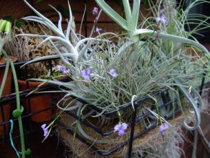 チランジア バンデンシス(Tillandsia bandensis)何とも言えない良い芳香を放ちたくさん開花中~♪2013.08.08