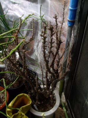 オキザリス ギガンティア(Oxalidaceae Oxalis gigantea) まだお目覚めてない!2013.09.14