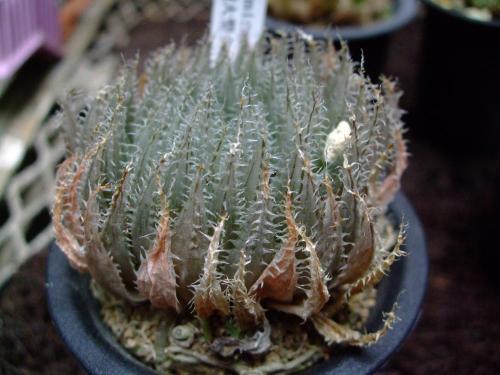 ハオルチア カミンギー(Haworthia cummingii) 特美大型単頭タイプ~2013.08.02