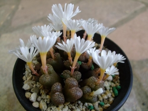 コノフィツム ペルシダム(conophytum pellucidum ssp. neohallii?)やっと晴れて太陽の出ている方向に満開(正午前後の昼咲き♪)になっています♪2013.10.27