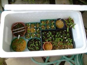 実生苗の防寒保温方法~♪&ナメクジも入れません!で栽培中~上手く冬越ししたいです♪2013.11.23