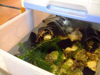 沢蟹水槽~2年を経て食用唐揚げ沢蟹さんは今でも生きています♪2013.07.03