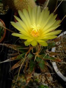 レウクテンベルギア 光山=晃山(こうざん)Leuchtenbergia principis ~小さい株が咲きました♪2013.09.14