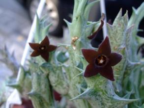 カラルマ 紫竜角(しりゅうかく)Caralluma hesperidum ~下垂れして黒に近い焦げ茶花が目立たず開花中~♪2013.05.05