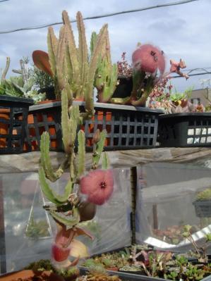スタペリア グランディフロラ(Stapelia grandiflora) 大花犀角(おおばなさいかく)ブンブンブ~ン蝿が飛ぶ~種ができそう(^◇^)2013.09.28
