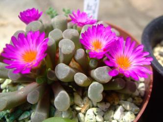 フリチア 晃(光)玉(こうぎょく)(Frithia pulchra)ピンク花今年も咲いています♪2013.07.01