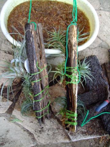 長いヘゴ板を切ってチランジアを水苔で貼り付けてみました~♪2013.07.04