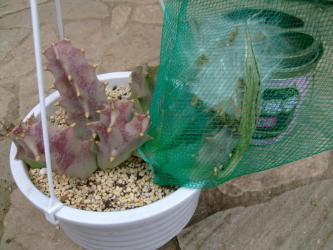 カラルマ メラナンサ(Caralluma melanantha)=(Orbea melanantha)?種鞘がはじけました~♪2013.06.06