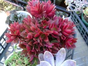 クラッスラ 火祭り~2階ベランダ屋外でばっちり紅葉しています♪濃赤で植物らしからぬ美しい色合いです♪2013.11.24