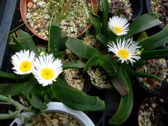 グロッチフィルム(Glottiphyllum sp.)美しい白花~ 野ざらしで開花中~♪2013.06.02