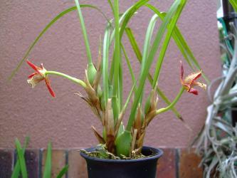 マキシラリア テヌイフォリア(Maxillaria tenuifolia) 玄関奥の北側通路で勝手に咲いてくれました~♪甘い香り~2013.06.28