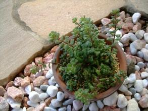 セダム スプリングワンダーが草っぽく茂っています♪2013.11.08