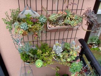 梅雨時ですがまとまった雨が降らず軒下多肉植物寄せ植えが意外と綺麗なまま育っています♪2013.07.03