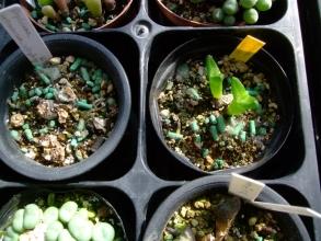 右:ディプロソマ ルックホフィ(怪奇玉)(Diplosoma luckhoffii) 左:ディプロソマ レトロベルサム(玉藻)(Diplosoma retroversum)酷いので植え替えます。2013.10.28