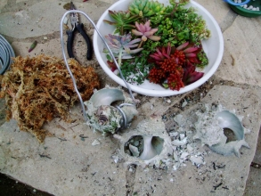 サザエの貝殻を金づちで割り水苔で多肉植物を植え込みます♪2013.11.08