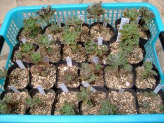 アエオニウムの自家採り種の実生苗の現況~♪鉢上げしました~2013.06.25