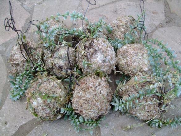 ディスキディア ルスキフォリア斑入り(Dischidia ruscifolia albovariegata)水苔玉に着生させたいけれど・・・痛んできました( 一一)2013.09.02