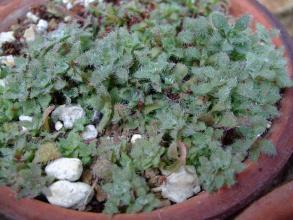 クラッスラ  ソシアリス?不明種(Crassula sp. Transvaal, Drakensburg)緑で もじゃもじゃ~♪2013.08.14