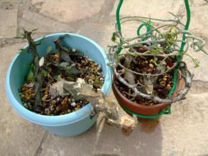 セロペギア アルマンディー (Asclepiadaceae Ceropegia armandii ) 挿し木で少し増えました♪只今開花中(^◇^)2013.10.13