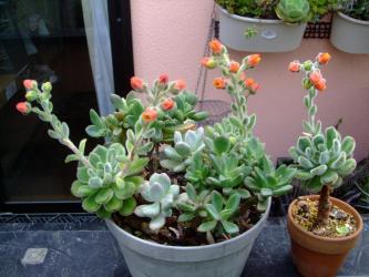 エケベリア ボンビシナ・白閃冠(はくせんかん)(Echeveria cv. Bombycina.) 蒸し暑そうに咲いています(+_+)2013.06.14