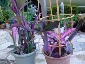 セトクレアセア 紫御殿(ムラサキゴテン)斑入り種~~縦にシャキ~ンと伸びて欲しいです♪2013.08.21