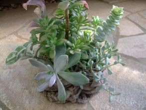 右:白鳳菊、左:月花美人、左上:ミニベル、右上:星王子その他茂っています♪2013.09.27