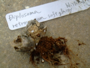 抜いて見るとディプロソマ レトロベルサム(玉藻)(Diplosoma retroversum)生きているか死んでいるか・・・2013.10.28
